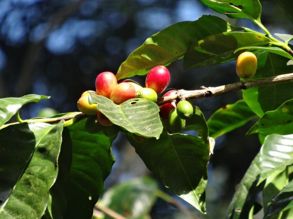 Cafetera con frutos frescos.